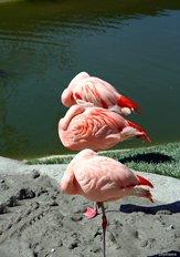 Fenicotteri rosa - Rose Flamingos