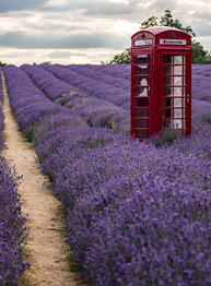 A red Tardis arrives at Mayfield Lavender Field