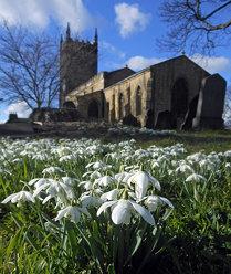 Swillington snowdrops