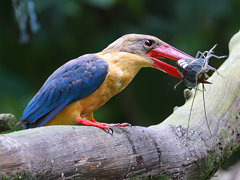 Stock-billed Kingfisher with prey