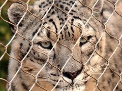 Sqare Snow Leopard