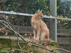 Caracals revisited (through glass)