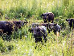 Buffalo Gabon