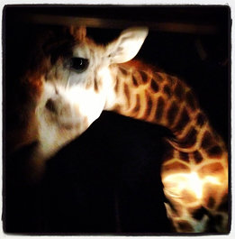 Up, close & personal with a #giraffe at the #night #safari in #chiangmai #thailand