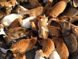 Aoshima Cats Island
