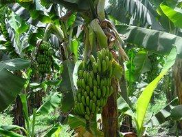 Банановый остров (Луксор)