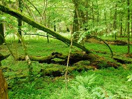 Białowieża Forest