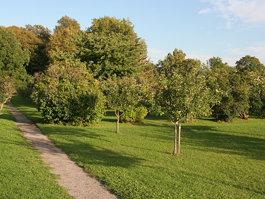 Ekeby oak tree
