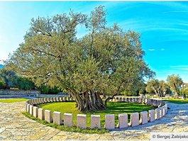 Стара маслина