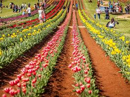 Tesselaar Tulip Farm