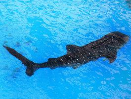 甚平鮫 Whale shark