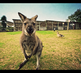 Wallaby and a Duck