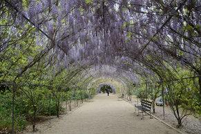 DSC_5893 wisteria arbour, Adelaide Botanic Garden, South Australia