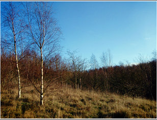 Silver Birches - Gang Wood near Barnsley