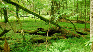 Forêt de Białowieża>