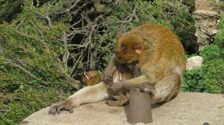 Gibraltar Barbary Macaques>