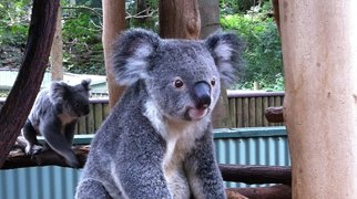 Lone Pine Koala Sanctuary>
