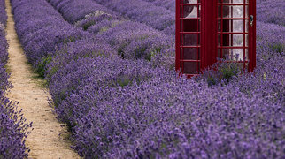 Mayfield Lavender Farms>