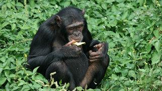 Ngamba Island Chimpanzee Sanctuary>