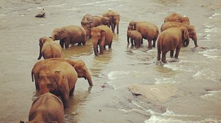 Pinnawela Elephant Orphanage>