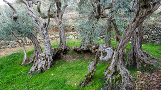 Sisters Olive Trees of Noah>