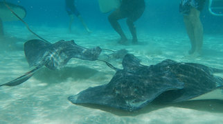 Stingray City, Grand Cayman>