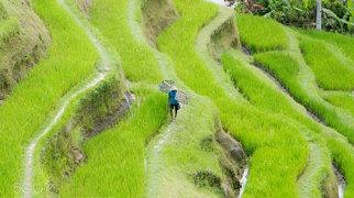 Tegallalang Rice Terraces>
