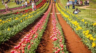 Tesselaar Tulip Farm>