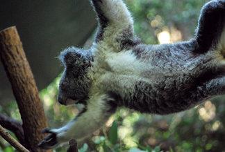 929 Koala in motion