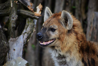 The Special African Laughing | Hyena (Hyäne)