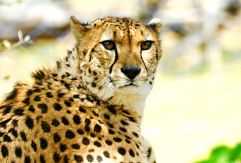 Male Young Cheetah, Asnaro of Yokohama Zoological Gardens : チーターのアスナロ(よこはま動物園ズーラシア)