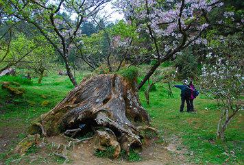 Cherry blossom-03