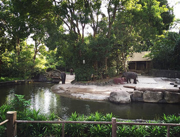 Asian elephants. #elephants #zoo #singapore