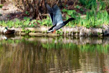 Canard colvert au décollage