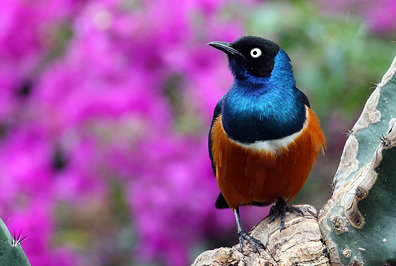 African Superb Starling Perched Before Pink Blossoms at the Bloedel Conservatory Vancouver BC 26Aug2