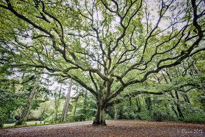The Big Tree (colour)