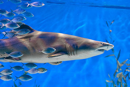Shark and Entourage