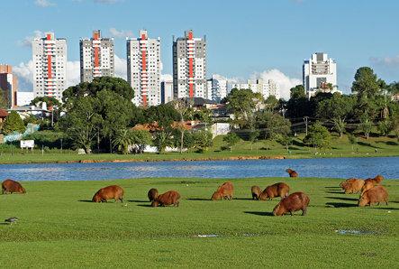 Capivaras, Parque Barigui