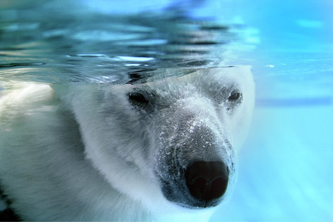 Polar bear in the Palmyre zoo