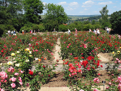 Rosen bis zum Horizont