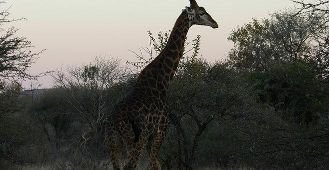 Ranku - Reserva natural Mokolodi