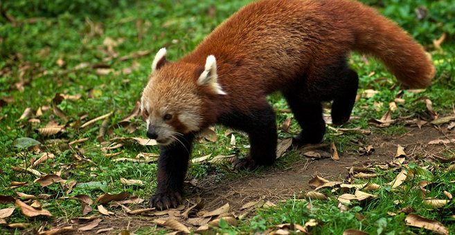 Darjeeling - Padmaja Naidu Himalayan Zoological Park