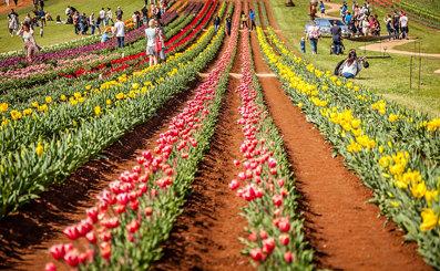 Silvan Tulip Festival-4