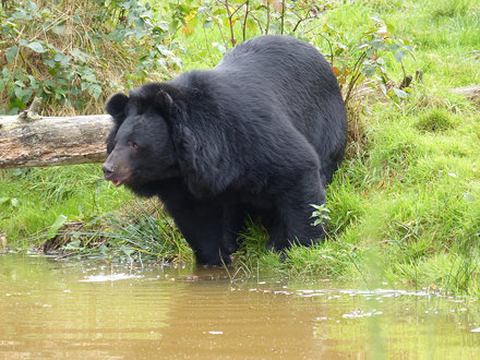 Kragenbär