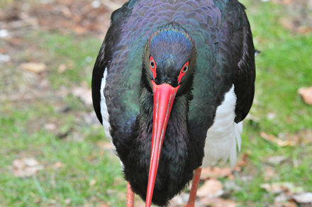 Black stork mugshot