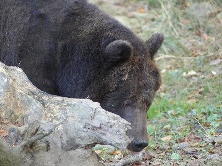 Europäischer Braunbär (0,1)