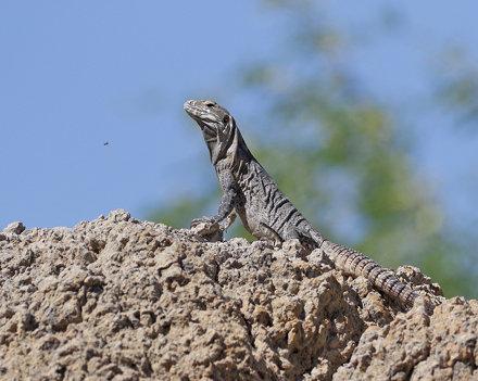 Lizard ?