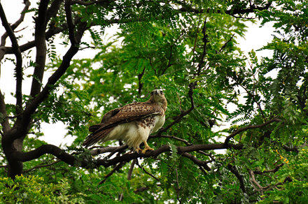 Young Red-Tail in the Fens