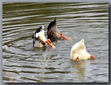 ducks butts ... eating or praying