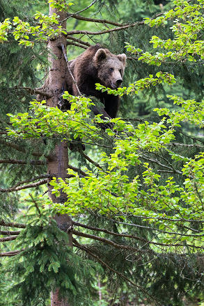 Bear Cub in a Tree pt. II
